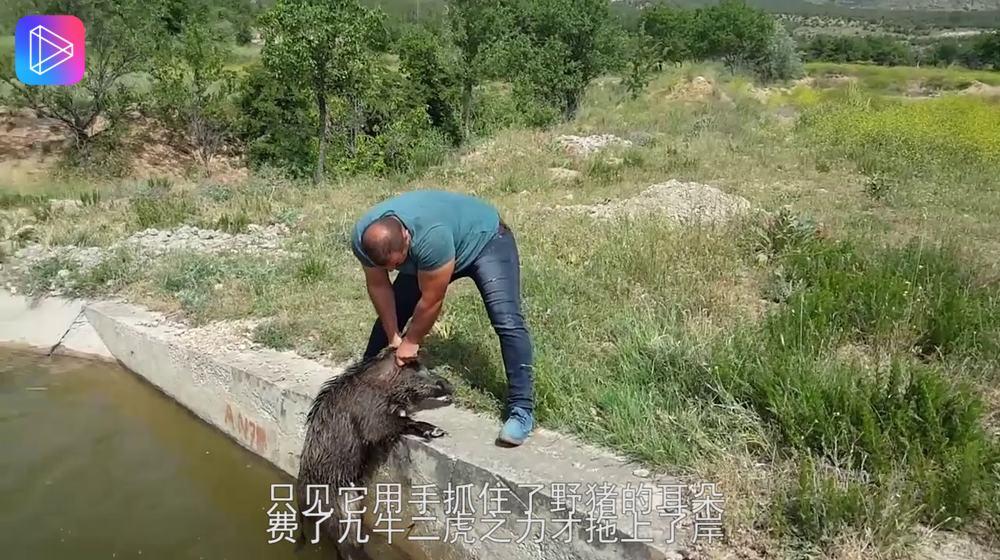 落水野猪被男子救起后,野猪的动作让人感动不已,镜头拍下全过程